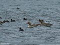 Greylag Goose (Anser anser) & Eurasian Coot (Fulica atra) (34325365981).jpg