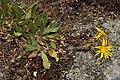 Grindelia integrifolia 2764.JPG