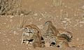 Ground Squirrels (Xerus inauris) (6538113319).jpg
