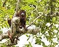 Guyanan red howler 2.jpg