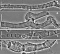 Gymnopus perforans transatlanticus (10.3897-mycokeys.18.10007) Figure 41.jpg