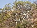 Gyrocarpus americanus03.jpg