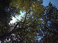 H20130909-9860—Juglans hindsii—Katherine Greenberg (9780612424).jpg