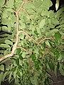 HK 上環 Sheung Wan night green plants 磅巷 Pound Lane November 2017 IX1 tree 大花紫薇 Lagerstroemia speciosa 04.jpg