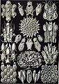 Haeckel Bryozoa 33.jpg