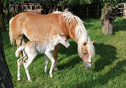 Haflinger mare and colt.jpg