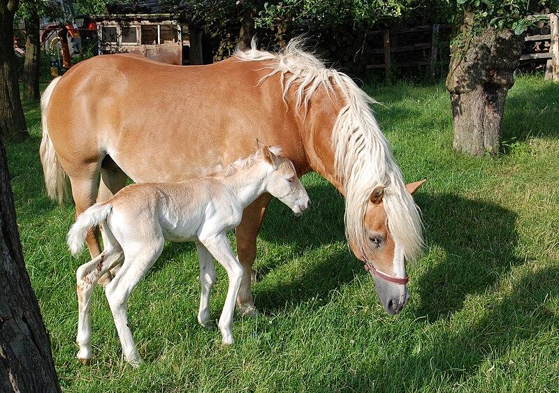 Soubor:Haflinger mare and colt.jpg