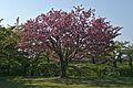 Hakodate Goryōkaku Park Sakura May 2016 1.jpg