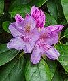 Half geopende bloem van Rhododendron ponticum.jpg