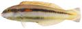 Halichoeres bivittatus - pone.0010676.g114.png