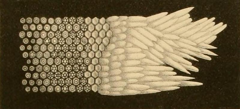 File:Hannover Photoreceptors 1843.png