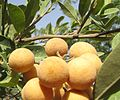 Hanza fruits and leaves Zinder Republic of Niger.JPG