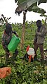 Hard workers in a banana plantation in Ivory Coast.jpg
