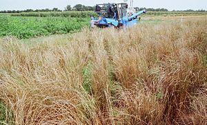 The Land Institute - Harvesting a Thinopyrum intermedium breeding nursery at The Land Institute