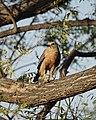 Hawk (47969467738).jpg
