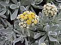 Helichrysum gossypinum kz2.JPG