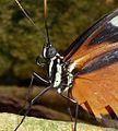 Heliconius hecale zuleika. - Flickr - gailhampshire.jpg