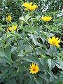 HeliopsisHelianthoides2.jpg
