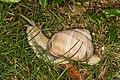 Helix pomatia (20024744182).jpg