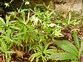 Helleborus viridisZugarramurdi2015.jpg