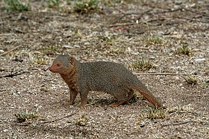 Common dwarf mongoose - Common dwarf mongoose in the Serengeti
