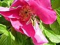 Helophilus hybridus in a Rosa rugosa flower.jpg