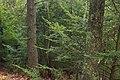 Hemlock Forest (5) (33002033195).jpg