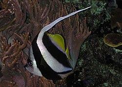 Heniochus diphreutes by NPS.jpg