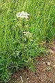 Heracleum-sphondylium-habitus.jpg