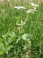 Heracleum sphondylium (5172766960).jpg