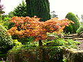 Hever Castle Japanese maple.JPG
