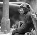 Hey, What's Going On? (SINGAPORE ZOO-CHIMPANZEE) VII (1018272628).jpg