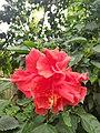 Hibiscus Flower 2.jpg