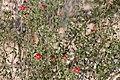 Hibiscus elliottiae-4880 - Flickr - Ragnhild & Neil Crawford.jpg