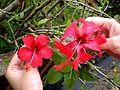 Hibiscus rosa-sinensis (Flowers).JPG