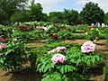Higashimatsuyama Peony Garden 3.JPG