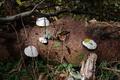 Hoher Vogelsberg Breungeshainer Heide Geiselstein Fomitopsis pinicola Picea abies.png