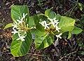 Holarrhena pubescens 12.JPG