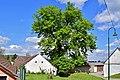 Hollabrunn - Oberstinkenbrunn - ND HL-008 - Winterlinde - 1.jpg