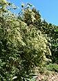 Holodiscus argenteus 1.jpg