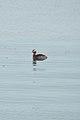 Horned Grebe (Podiceps auritus) - Port Bruce, Ontario.jpg