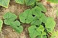 Horngurke - Kiwano - Cucumis metuliferus im Folienhaus, kletternd 10 ies.jpg
