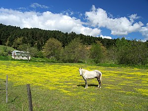 white horse in yellow field (Mourgani, Thessal...
