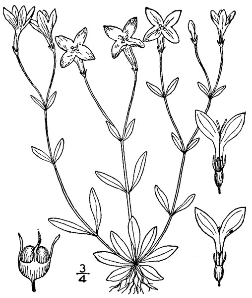 File:Houstonia caerulea L. Azure bluet.tiff