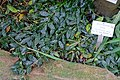 Hoya lacunosa - Botanischer Garten - Heidelberg, Germany - DSC01116.jpg