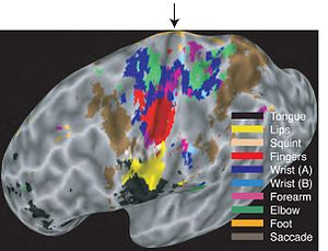 Motor cortex - Map of the body in the human brain.