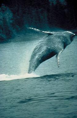 http://upload.wikimedia.org/wikipedia/commons/thumb/4/4c/Humpback_whale.jpg/250px-Humpback_whale.jpg