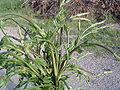Humulus lupulus shoots.jpg