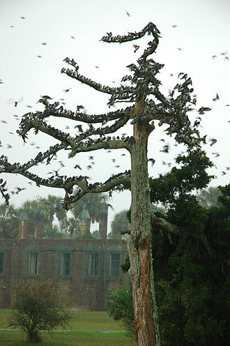 Huntington Beach State Park - Huge tree swallow flock preparing for fall migration takes refuge from the rain on a snag in front of Atalaya