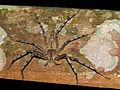 Huntsman Spider (Heteropoda sp.) (15554080481).jpg